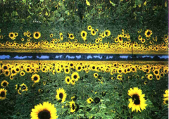 Sonnenblumenfeld bei Wittstock (c) Ulrich Zuber